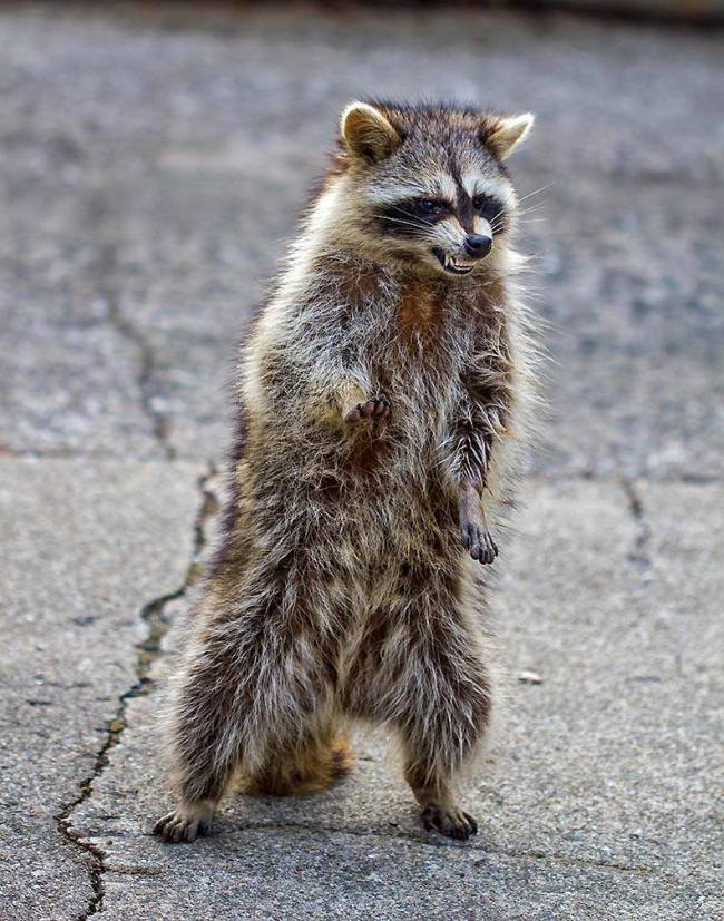 coggeshall-raccoon-00032.jpg